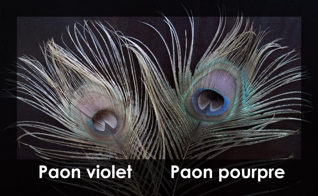 plume-paon